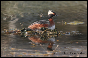 horned grebe with credit